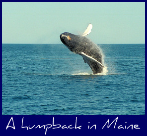 humpback-whale-maine