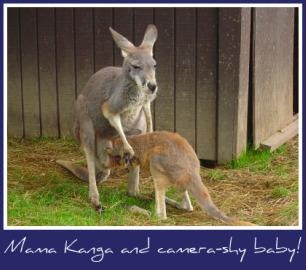 Maine-zoo-kangaroo.jpg
