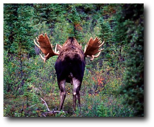 moose-facts-back-end.jpg