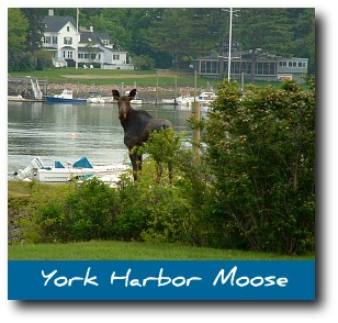 moose-pictures-york.jpg