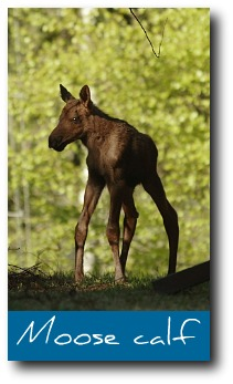 moose-facts-baby.jpg