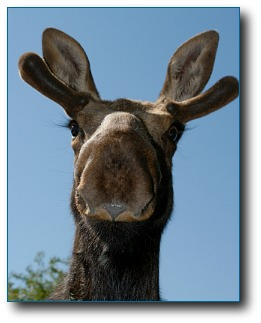moose-facts-pretty-moose.jpg