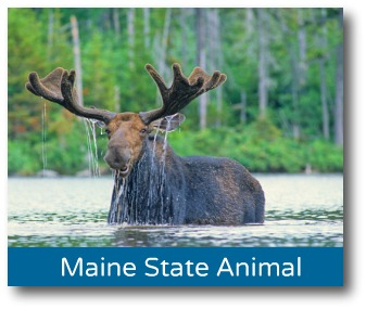 maine-moose.jpg