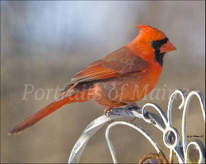 pictures-of-maine_cardinal