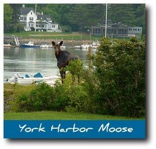moose-pictures-york.jpg