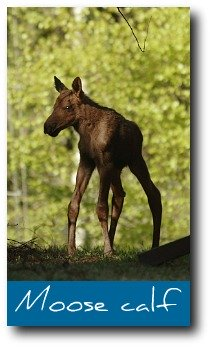 moose-facts-baby.jpg