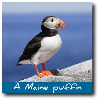 rockland-maine-puffin